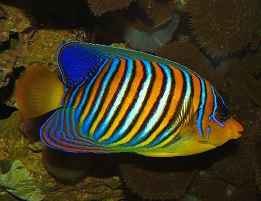 Picture of a royal angelfish (Pygoplites diacanthus)