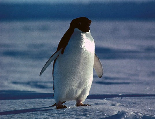 Picture of a adelie penguin (Pygoscelis adeliae)