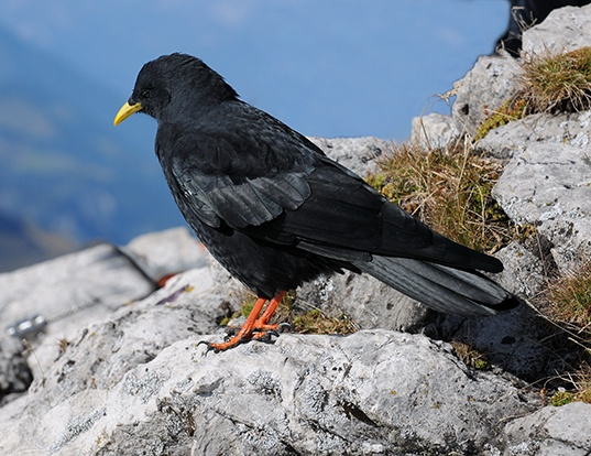 Picture of a yellow-billed chough (Pyrrhocorax graculus)