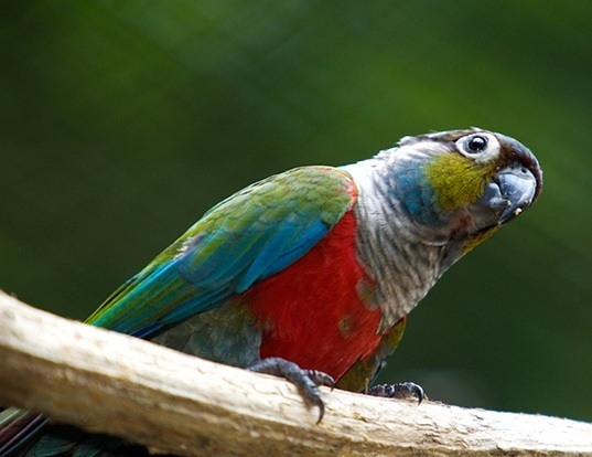 Picture of a crimson-bellied conure (Pyrrhura perlata)