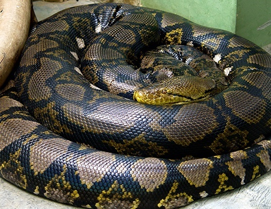 Picture of a reticulate python (Python reticulatus)