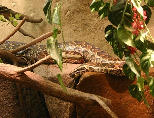Picture of a african rock python (Python sebae)