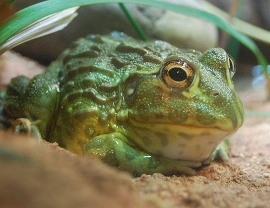 Picture of a african bullfrog (Pyxicephalus adspersus)
