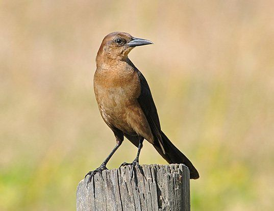 Picture of a boat-tailed grackle (Quiscalus major)