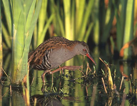 Picture of a western water rail (Rallus aquaticus)