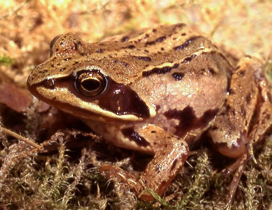 Picture of a moor frog (Rana arvalis)