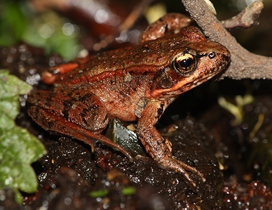 Picture of a northern red-legged frog (Rana aurora)