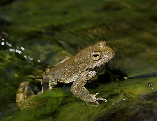 Picture of a yellow-legged frog (Rana boylii)