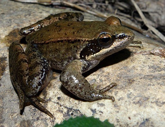 Picture of a iberian frog (Rana iberica)