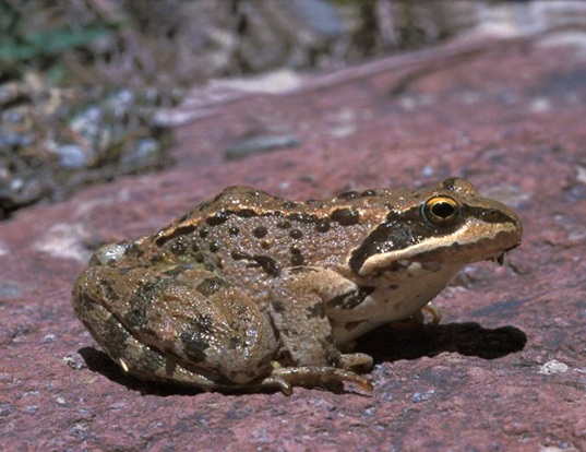 Picture of a brusa frog (Rana macrocnemis)