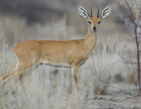 Picture of a steenbok (Raphicerus campestris)