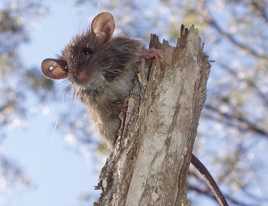 Picture of a bush rat (Rattus fuscipes)