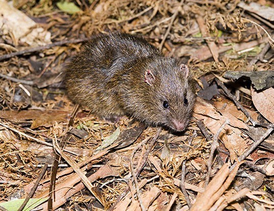Picture of a australian swamp rat (Rattus lutreolus)