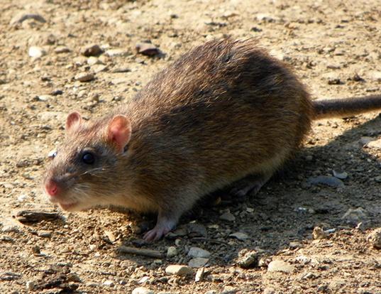 Picture of a brown rat (Rattus norvegicus)