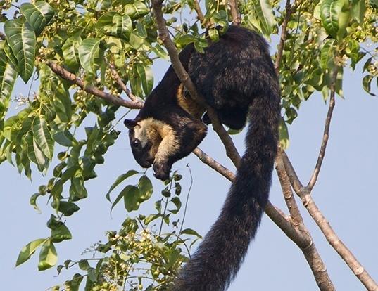 Picture of a black giant squirrel (Ratufa bicolor)