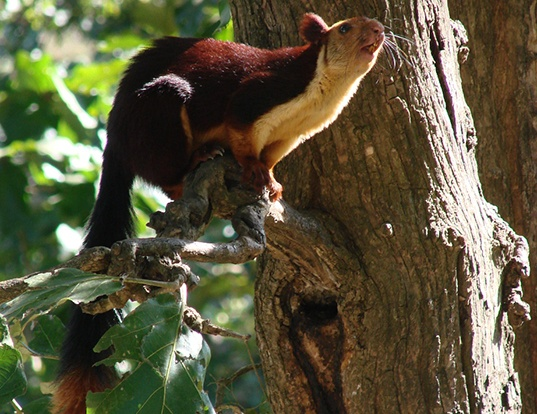 Picture of a indian giant squirrel (Ratufa indica)