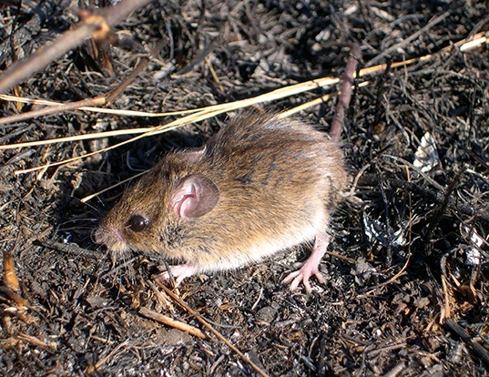 Picture of a eastern harvest mouse (Reithrodontomys humulis)