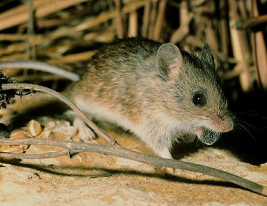 Picture of a southern marsh harvest mouse (Reithrodontomys megalotis)