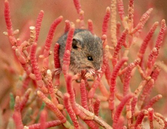 Picture of a saltmarsh harvest mouse (Reithrodontomys raviventris)