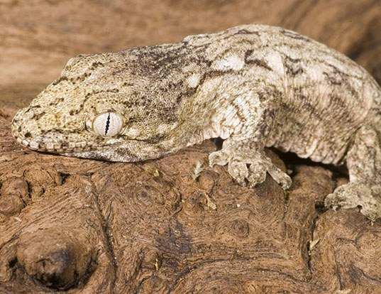 Picture of a new caledonia giant gecko (Rhacodactylus leachianus)