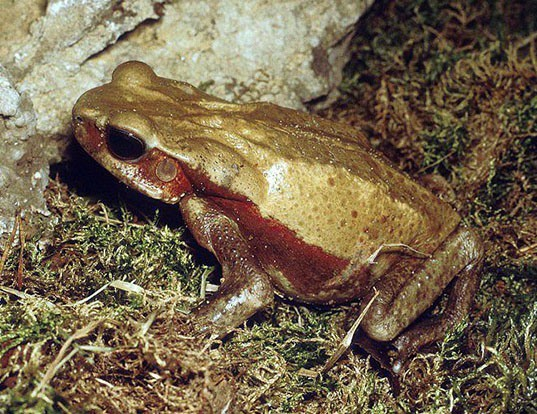 Picture of a colombian giant toad (Rhaebo blombergi)