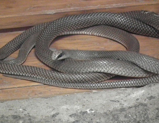 Picture of a rufous beaked snake (Rhamphiophis oxyrhynchus)