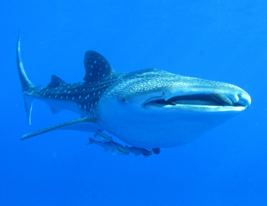 Picture of a whale shark (Rhincodon typus)
