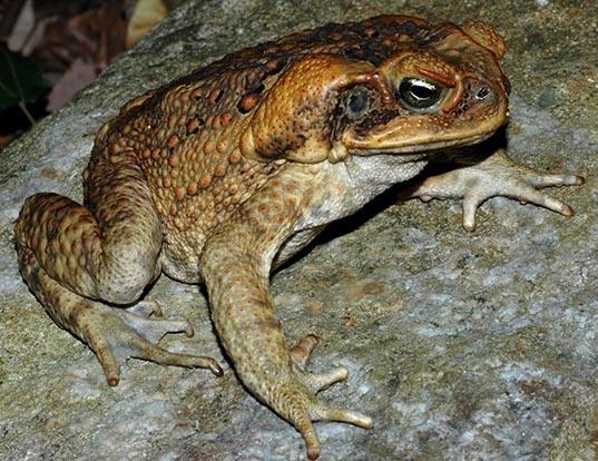 Picture of a cane toad (Rhinella marina)