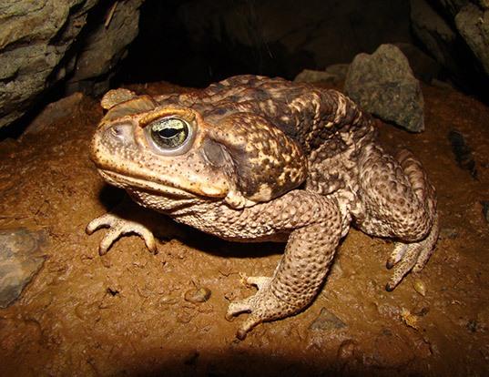 Picture of a cururu toad (Rhinella schneideri)