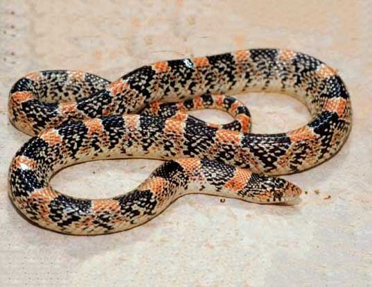 Picture of a long-nosed snake (Rhinocheilus lecontei)