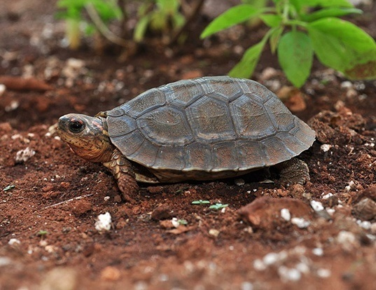 East African Serrated Mud Turtle Life Expectancy