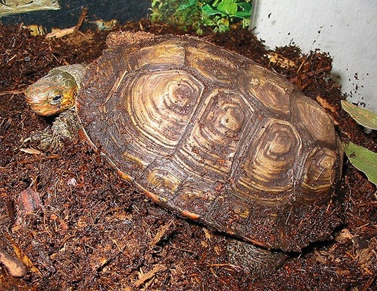 Picture of a central american wood turtle (Rhinoclemmys pulcherrima)