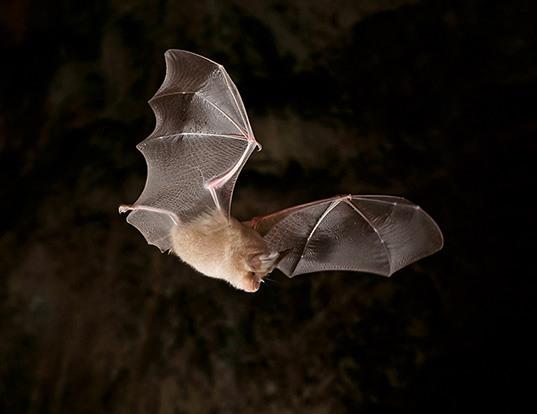 Picture of a greater horseshoe bat (Rhinolophus ferrumequinum)