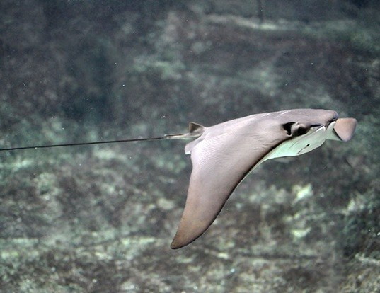 Picture of a cownose ray (Rhinoptera bonasus)