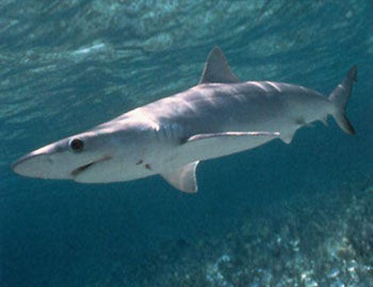 Picture of a atlantic sharpnose shark (Rhizoprionodon terraenovae)
