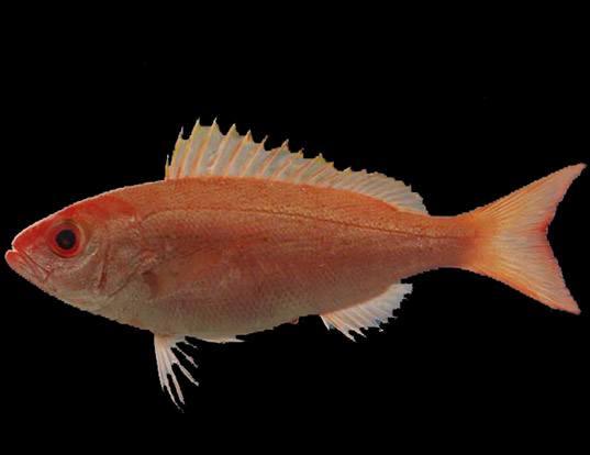 Picture of a vermilion snapper (Rhomboplites aurorubens)