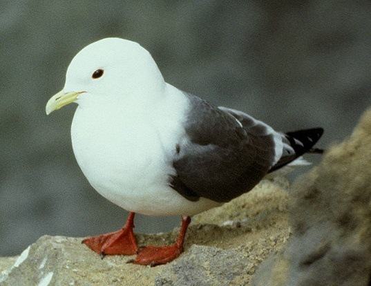 Picture of a red-legged kittiwake (Rissa brevirostris)