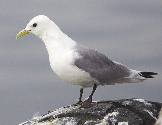 Picture of a black-legged kittiwake (Rissa tridactyla)