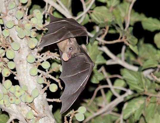 Picture of a egyptian fruit bat (Rousettus aegyptiacus)
