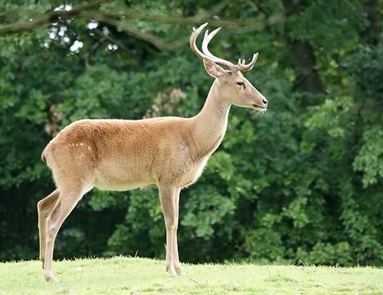 Picture of a eld's deer (Rucervus eldii)