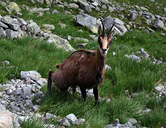 Picture of a northern chamois (Rupicapra rupicapra)