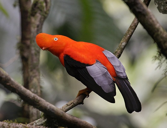 Picture of a guianan cock-of-the-rock (Rupicola rupicola)