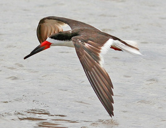 Picture of a black skimmer (Rynchops niger)