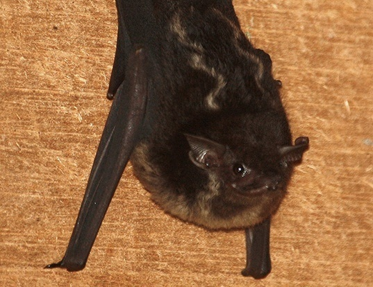 Picture of a greater sac-winged bat (Saccopteryx bilineata)