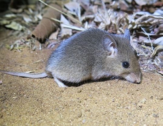 Picture of a south african pouched mouse (Saccostomus campestris)