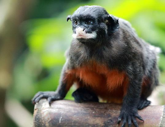 Picture of a white-lipped tamarin (Saguinus labiatus)