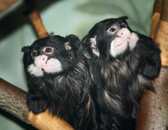 Picture of a moustached tamarin (Saguinus mystax)