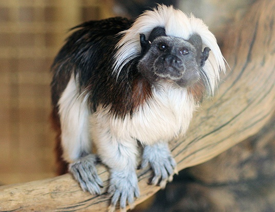 Picture of a cotton-headed tamarin (Saguinus oedipus)