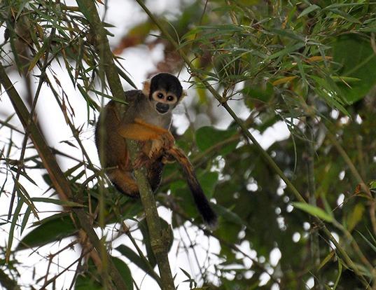 Picture of a black-headed squirrel monkey (Saimiri vanzolinii)