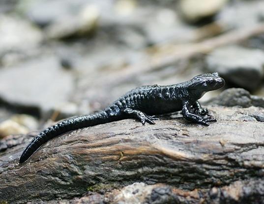 Picture of a golden alpine salamander (Salamandra atra)